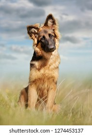 German Shepherd dog photographed outdoors in the nature.