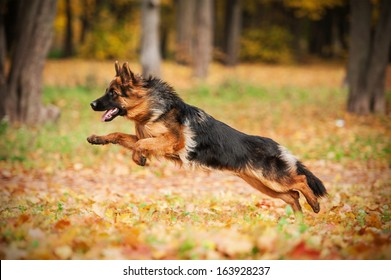 German shepherd dog playing in autumn