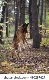 German shepherd dog playing in the autumn forest near rail way
