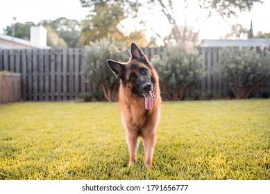 German Shepherd Dog playing on Grass