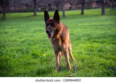German shepherd dog playing at the park Park in Rome