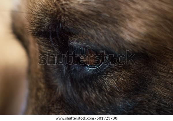 German Shepherd dog portrait detail, eye