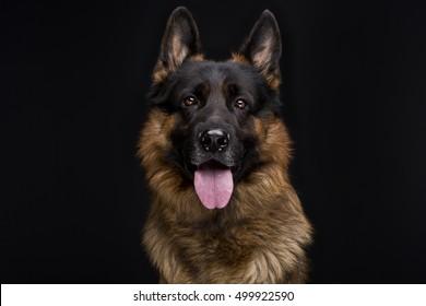 German Shepherd Dog portrait in front of black background