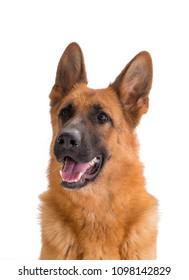 German shepherd Dog portrait on white isolated background.