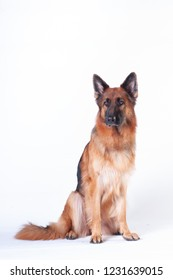 German shepherd dog portrait on white background at studio