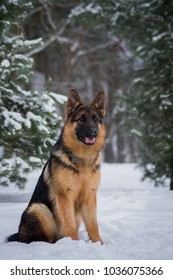 German shepherd dog posing outside in the snow.