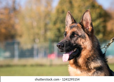 German shepherd dog  posing outside. Show dog in autumn.