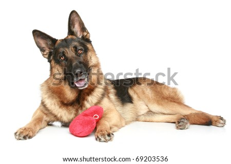 German Shepherd Dog Red Valentine Heart Stock Photo Edit Now