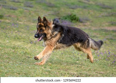 German Shepherd dog running in the meadow