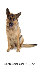 german shepherd dog sitting down and looking into the camera