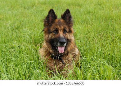 German shepherd dog sitting in the green grass. The dog stuck out its tongue.