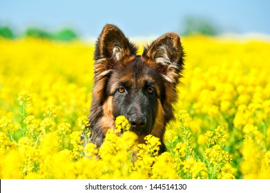 German shepherd dog sitting in yellow flowers