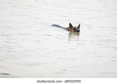 German shepherd Dog swimming , Flood