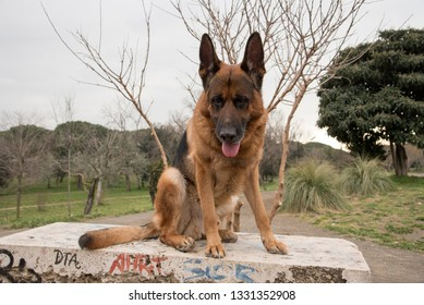 German shepherd dog walking at the park in Rome