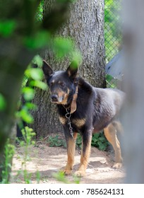 German shepherd dog as watchdog on a chain in the mining village of Anina in Romania