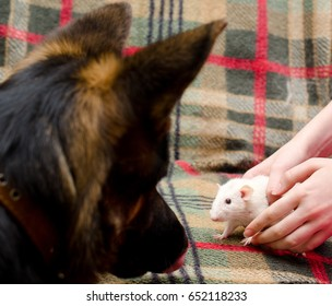 German shepherd dog watching a white rat in child hands (animal friendship concept), with selective focus on the rat