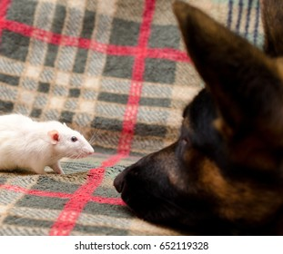 German shepherd dog watching a white rat (animal friendship concept), with selective focus on the rat
