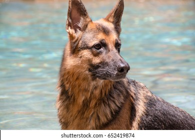 German Shepherd dog in water