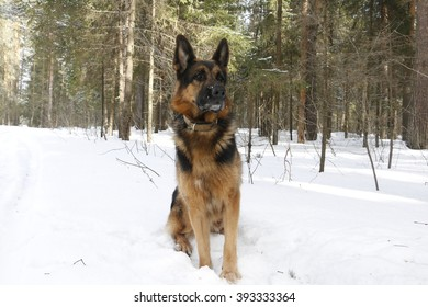 German shepherd dog in winter day