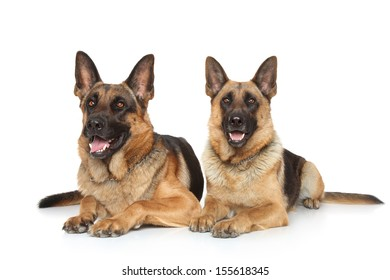 German Shepherd dogs lying on white background