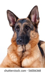 German Shepherd in front, isolated on white background, studio shot.