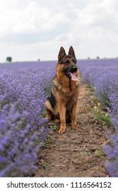 German Shepherd gog at lavender field