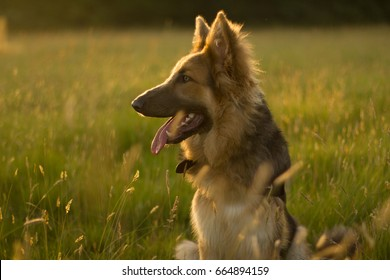 German Shepherd in Golden Field Sun flare
