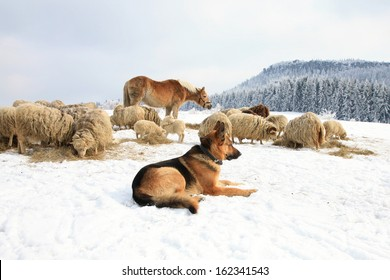 German Shepherd guarding herd of sheep feeding Skudde. Winter on the farm.