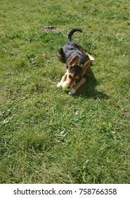 German shepherd half-breed chewing on a ball on a meadow