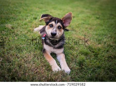 German Shepherd Husky Puppy Stock Photo Edit Now 719029582