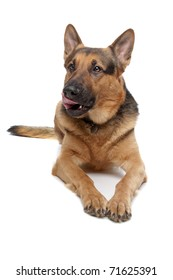 german shepherd isolated on a white background