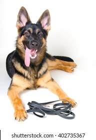 German shepherd with a leather leash ready for a walk (on white)