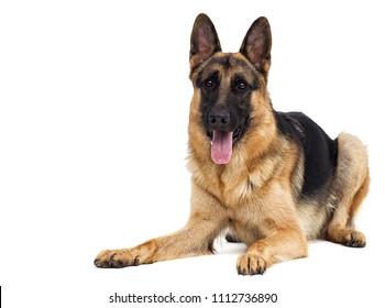 German shepherd looking sideways