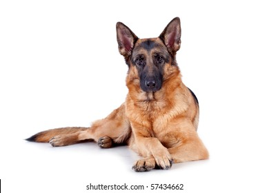 German Shepherd lying in front, isolated on white background, studio shot.