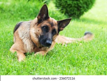German shepherd lying on the grass