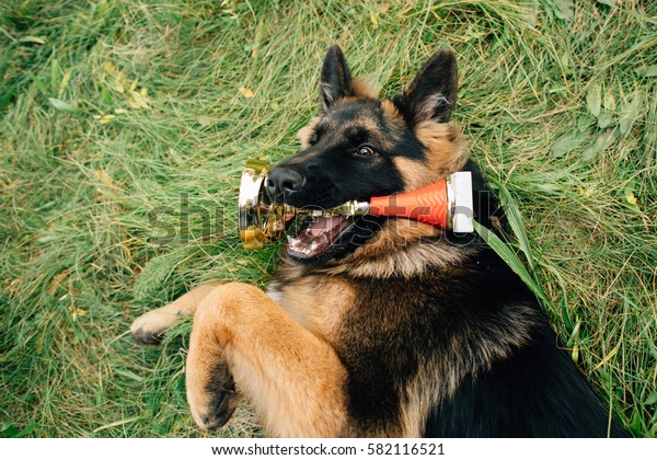 German Shepherd lying on grass with golden cup in mouth after winning the dog show