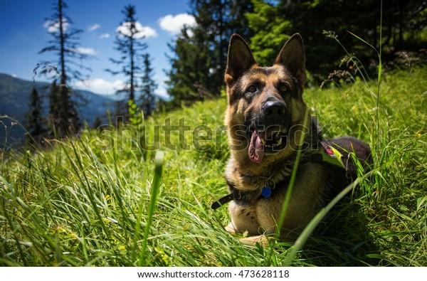 German Shepherd lying on a green meadow in the mountains.