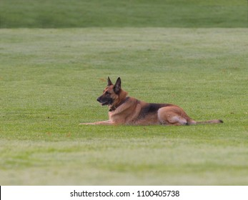 German Shepherd lying on the lawn.