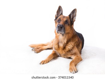 German shepherd  lying on a white background