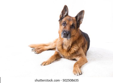 German shepherd is lying on a white background