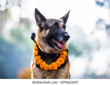German shepherd with a marigold garland being worshiped during Kukur Tihar (dog Deepawali) in Kathmandu, Nepal