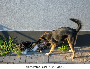 German shepherd mix and domestic cat in friendly game