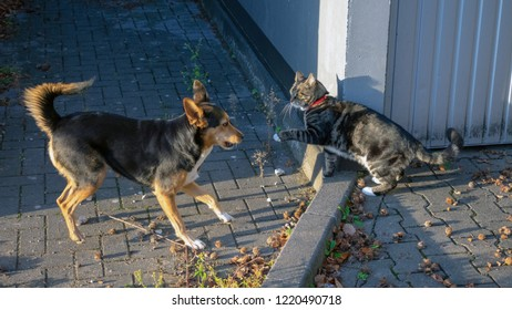 German shepherd mix and domestic cat playing together
