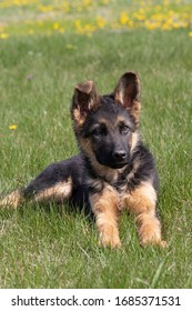 german-shepherd-mixed-breed-puppy-260nw-