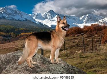 German Shepherd Model
