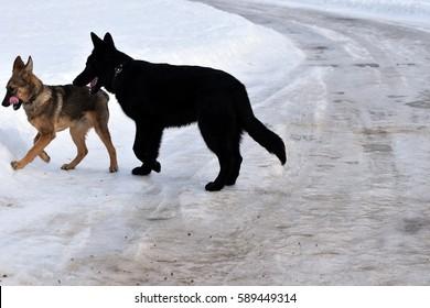 German shepherd and mongrel