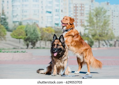 German Shepherd and Nova Scotia Duck Tolling Retriever sitting together