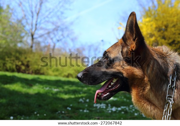 German Shepherd, German Shepherd, German Shepherd on the grass, dog in the park, german shepherd profile