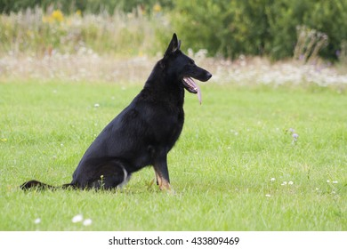 German shepherd on the green grass in the park