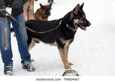 German shepherd on a leash with the owner